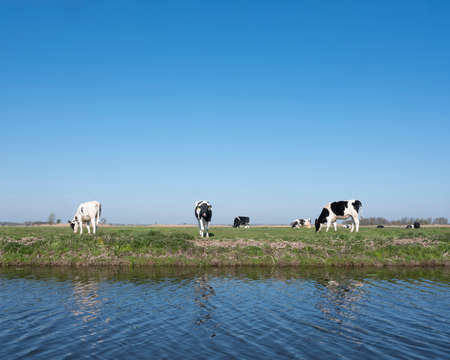 black and white spotted holstein calves in green grassy meadow under blue sky in holland