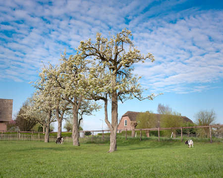 goats near blossoming spring orchard near oudewater in holland