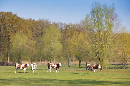 brown spotted cows in meadow near spring forest in holland