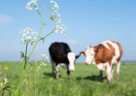 spotted red and black cows in meadow with spring flowers