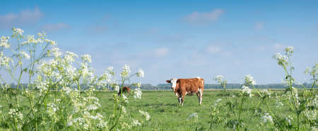 spotted red and white cows in meadow with spring flowers