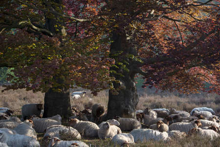 flock of sheep rests in shadow of large beech tree
