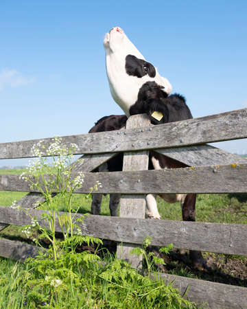young black cow in meadow behind wooden gate and spring flowers
