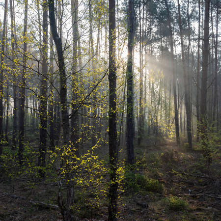 fresh leaves lit up in early morning sunshine between trunks of forest in spring