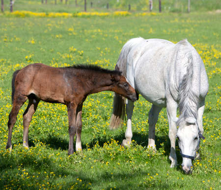 white horse and foal graze in summer meadow with yellow flowers