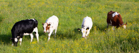 spotted cows in spring meadow with yellow flowers in the centre of the netherlands
