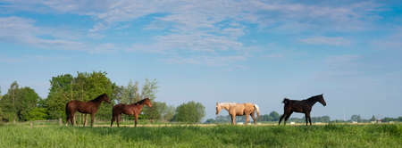 young horses in fresh green grass of meadow near utrecht in holland