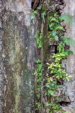 pared rota: Las hojas que crecen en una pared rota vieja
