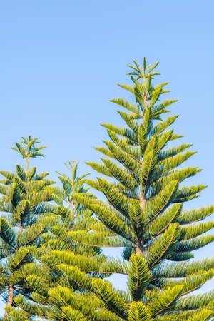 pinaceae: Top part of pinaceae, Winter