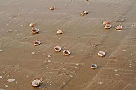 mollusk: has low tide of the mollusk shells on the sand