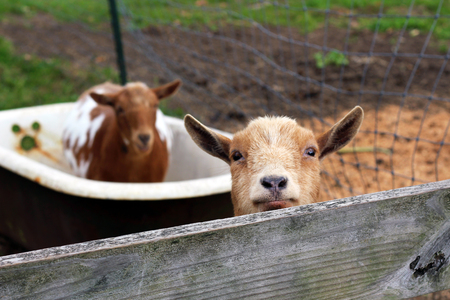 Goats on the Farm and in the Tub