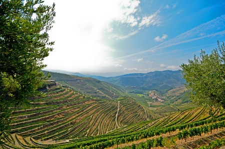 portugal agriculture: Douro Valley: Vineyards and olive trees near Pinhao Portugal A famous wine region in Europe