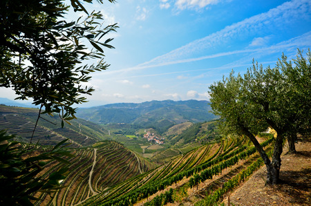 Douro Valley: Vineyards and olive trees near Pinhao, Portugal - A famous wine region in Europe