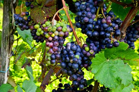Rode wijn: Vine met druiven voor vintage - Harvest, Zuid-Stiermarken Oostenrijk