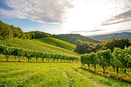vid: Vides en un viñedo en otoño - Uvas de vino antes de la cosecha