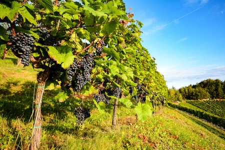 Southern Styria Austria Red wine: Grape vines in the vineyard before harvest