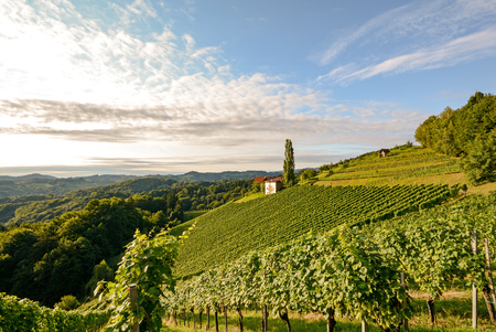 Paisaje con las uvas de vino en el viñedo antes de la cosecha, Estiria Austria Europa