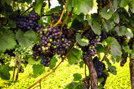 Red wine: Grapes in the vineyard before harvest