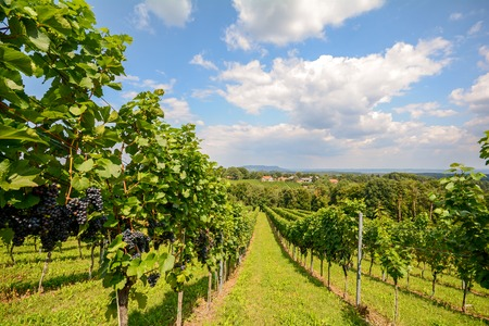 Vineyards in Southern Styria near Gamlitz before harvest, Austria
