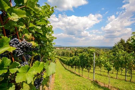 uvas: Sur de Estiria Austria - Vino tinto: Vides de uva en el viñedo antes de la cosecha