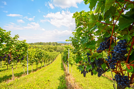 Vineyards in Southern Styria near Gamlitz before harvest, Austria Europe