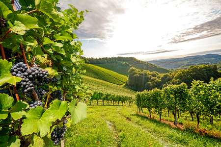 wineries: Vines in a vineyard in autumn - Wine grapes before harvest