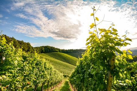 Vine in a vineyard in autumn - White wine grapes before harvest Standard-Bild