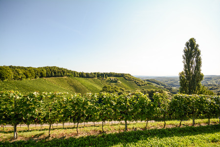 cottonwood tree: Grapevine and cottonwood tree in a vineyard in late summer, South Styria Austria Europe