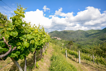 rhone: Hilly vineyards in early summer in Italy, Europe