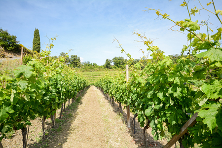 winegrowing: Old vineyard in the tuscany winegrowing area, Italy Europe
