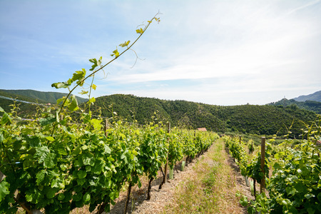portugal agriculture: Old vineyard in the tuscany winegrowing area, Italy Europe