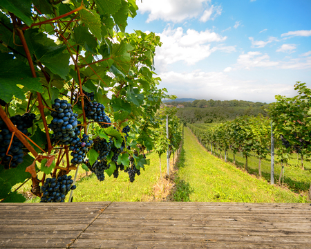 Houten bank in de wijngaard, Rode wijn druiven in de herfst vóór oogst