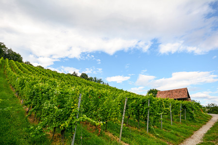 portugal agriculture: Steep vineyard next to a walkway with old hut near a winery in the tuscany wine growing area, Italy Europe