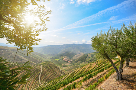 Vineyards and olive trees in the Douro Valley near Lamego, Portugal Europe Archivio Fotografico