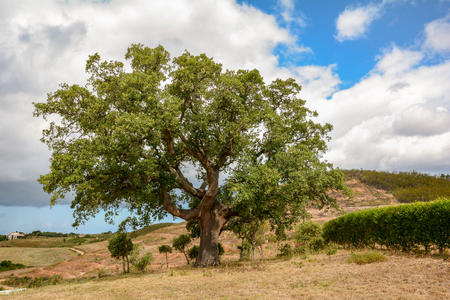Old Cork oak tree (Quercus suber) in morning sun light, Alentejo Portugal Europe