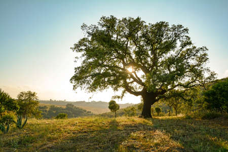 Cork oak tree (Quercus suber) and mediterranean landscape in evening sun, Alentejo Portugal Europe
