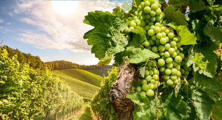Vines in a vineyard near a winery in the evening sun, White wine grapes before harvest Stok Fotoğraf