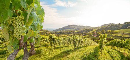Reben in einem Weinberg mit Weißweintrauben im Sommer, hügelige Agrarlandschaft in der Nähe von Weingut an der Weinstraße, Steiermark Österreich