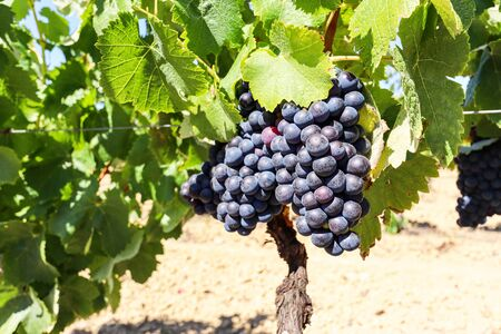 Vineyard with red wine grapes near a winery in late summer, grapevines before harvest and wine production in Europe Standard-Bild