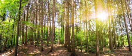 Panoramic view to forest with trunks of fir and pine tree mixed with oak and beech tree in bavarian mountains near Alps with summer sunlight, Bavaria Germany