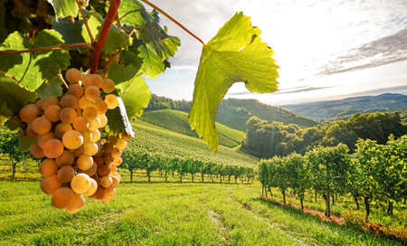 Old vineyards with white wine grapes in the Tuscany wine region near a winery before harvest in autumn, Italy Europe