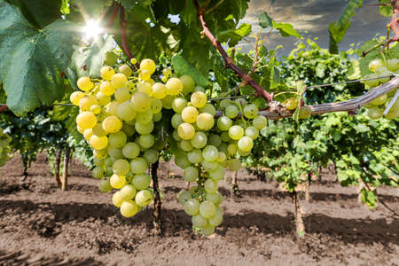 White wine grapes at a vineyard near a winery before harvest, Wine production in the tuscany area, Italy Europe