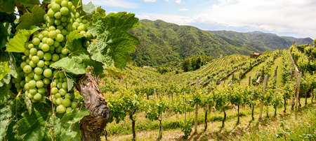 Hilly vineyards with red wine grapes near a winery in early summer in Italy, Tuscany Europe