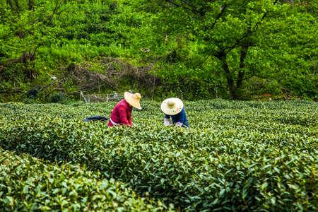 picking: Farmers picking tea leaves