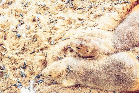 immobile: Selective Focus Prairie Dog sleeo on sand
