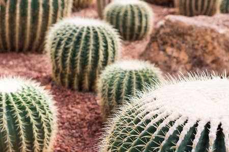 Cactus in desert  for background or wallpaper Stock Photo