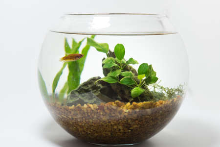 betta dans fishbowl