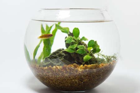 freshwater aquarium plants: betta in fishbowl Stock Photo
