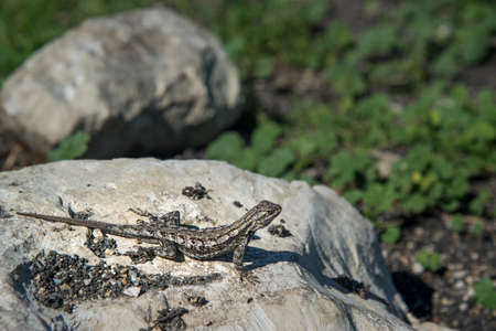 mwanza: lizard Stock Photo