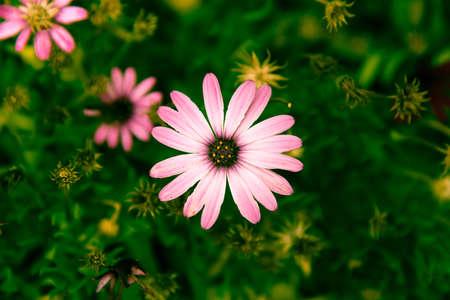 african daisy: african daisy